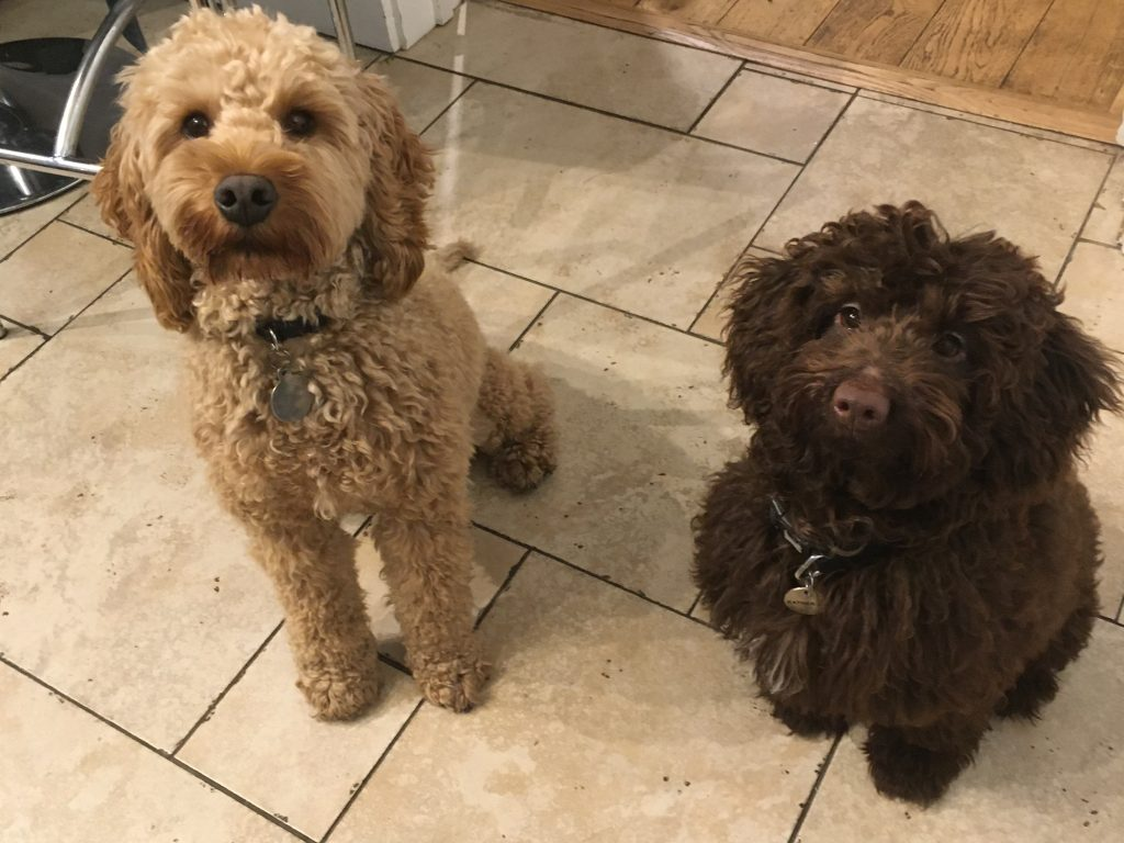 Roo and Mr Darcy Cockerpoo my pet dogs